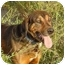 Photo 3 - Bloodhound/Coonhound (Unknown Type) Mix Dog for adoption in Austin, Minnesota - Emmitt