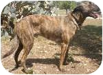 Dutch Shepherd Dog for adoption in Jamestown, California - Cosmo In TX