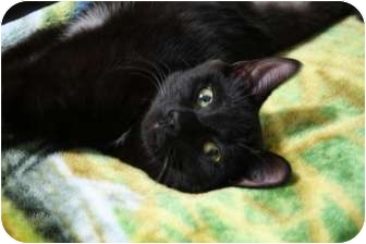 Domestic Shorthair Cat for adoption in Brighton, Michigan - Vixie formerly Patsy Cline