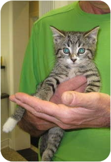 Domestic Shorthair Kitten for adoption in Randolph, New Jersey - Otis and Mileen