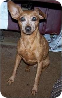 Miniature Pinscher Dog for adoption in York, South Carolina - Stella