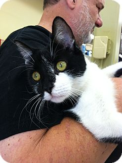 Domestic Shorthair Cat for adoption in Riverhead, New York - George