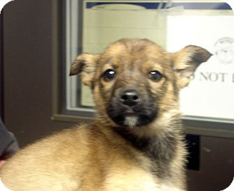 German Shepherd Dog Mix Puppy for adoption in Manassas, Virginia - Romulus