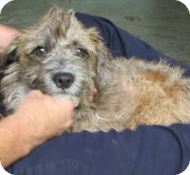 Schnauzer (Miniature)/Terrier (Unknown Type, Small) Mix Dog for adoption in Bloomfield, Connecticut - Little Cay