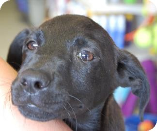 Labrador Retriever Mix Puppy for adoption in Brooklyn, New York - Broccoli
