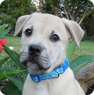 Boxer/Labrador Retriever Mix Puppy for adoption in Charlotte, North Carolina - Buck