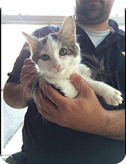 Domestic Mediumhair Kitten for adoption in Hainesville, Illinois - Margery