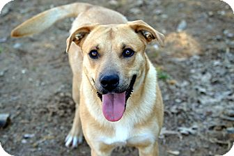 Labrador Retriever/Black Mouth Cur Mix Dog for adoption in Broadway, New Jersey - Chapel