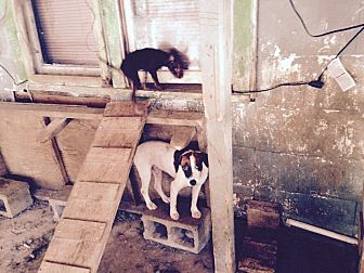Blue Heeler/Labrador Retriever Mix Dog for adoption in Beeville, Texas - Dolly