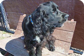 Cocker Spaniel Dog for adoption in Medford, Wisconsin - BRUNO