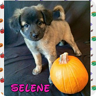 Spaniel (Unknown Type) Mix Puppy for adoption in Concord, California - Selene