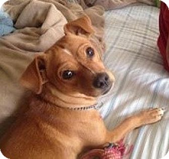 Rhodesian Ridgeback/Dachshund Mix Puppy for adoption in Ridgecrest, California - Rusty