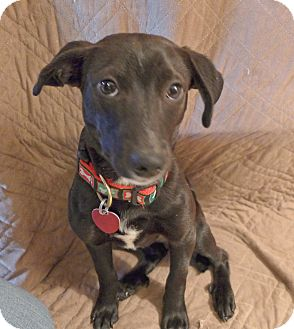 Dachshund Mix Puppy for adoption in Williamsburg, Virginia - ELLA
