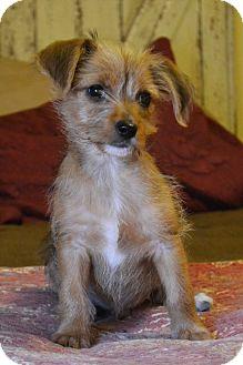 Cairn Terrier/Wirehaired Fox Terrier Mix Puppy for adoption in Allentown, Pennsylvania - Hawk