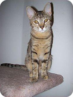 Bengal Cat for adoption in Fenton, Missouri - Rhianna