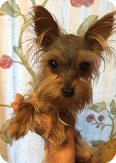 Yorkie, Yorkshire Terrier Mix Dog for adoption in Kansas city, Missouri - Pete