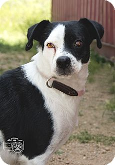 Pointer Mix Dog for adoption in Divide, Colorado - Milly