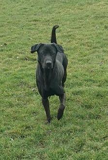 Labrador Retriever/Shar Pei Mix Dog for adoption in Ashtabula, Ohio - Zero