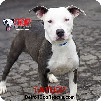 American Pit Bull Terrier Mix Dog for adoption in St. Clair Shores, Michigan - Taylor