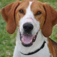 Treeing Walker Coonhound Dog for adoption in Navarre, Florida - Chance