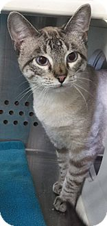 Siamese Cat for adoption in Mansfield, Texas - Lyle Lovin