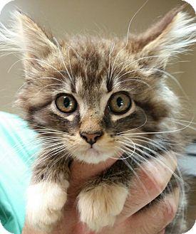 Maine Coon Kitten for adoption in Allentown, Pennsylvania - Gizmo