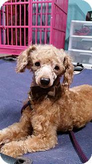Toy Poodle Dog for adoption in Santa Fe, Texas - Precious litttle Georgie-S