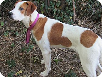 Brittany/Hound (Unknown Type) Mix Dog for adoption in Santa Clara, New Mexico - Levi