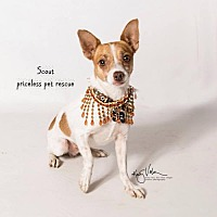 Adopt A Pet :: Scout - Claremont - Chino Hills, CA