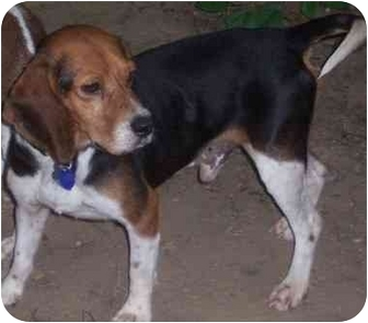Beagle Dog for adoption in Waldorf, Maryland - Jack