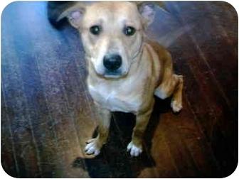 Blue Heeler/Shepherd (Unknown Type) Mix Dog for adoption in Kellogg, Idaho - Capone