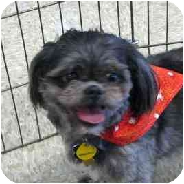 Shih Tzu Dog for adoption in Quinlan, Texas - Texas