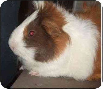 Guinea Pig for adoption in Palm Bay, Florida - Spike