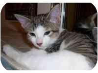 Domestic Shorthair Kitten for adoption in Tampa, Florida - Little Man