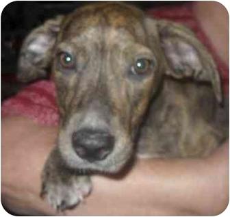 Catahoula Leopard Dog Mix Puppy for adoption in Lonedell, Missouri - Porsche