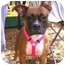 Photo 1 - Boxer Dog for adoption in Tallahassee, Florida - Laila