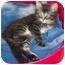 Photo 1 - Domestic Longhair Kitten for adoption in Brighton, Michigan - Hershey