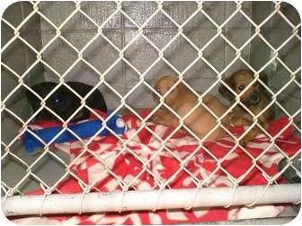 "Labrador Retriever/Shepherd (Unknown Type) Mix Puppy for adoption in Henderson, North Carolina - The ""Y"" pups"