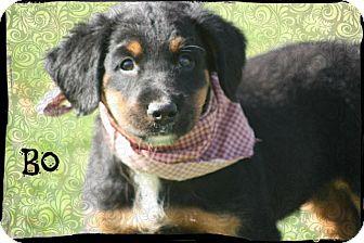 Rottweiler Mix Puppy for adoption in Glastonbury, Connecticut - Bo