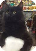 Domestic Mediumhair Kitten for adoption in Modesto, California - Wiley