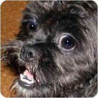 Adopt A Pet :: Annabelle-NC - Chapel Hill, NC