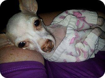 Chihuahua Dog for adoption in Toronto/GTA, Ontario - LIBBY