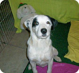 Labrador Retriever/Pointer Mix Puppy for adoption in Liberty Center, Ohio - Chance