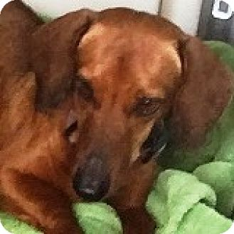 Dachshund Dog for adoption in Houston, Texas - Charlie Checkers