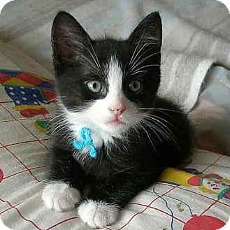 Domestic Shorthair Kitten for adoption in Columbia, Illinois - Gibs