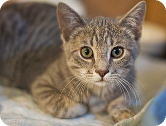 Domestic Shorthair Kitten for adoption in Great Falls, Montana - Grayson