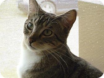 Domestic Shorthair Cat for adoption in Orland, California - Dawn