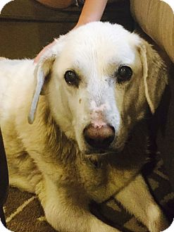 Labrador Retriever Dog for adoption in Phoenix, Arizona - Olive