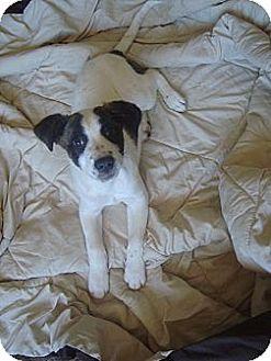 Australian Shepherd/Hound (Unknown Type) Mix Puppy for adoption in Old Bridge, New Jersey - Cait