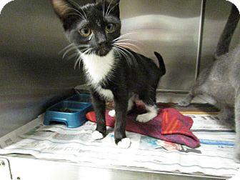 Domestic Shorthair Kitten for adoption in Windsor, Virginia - Jenga
